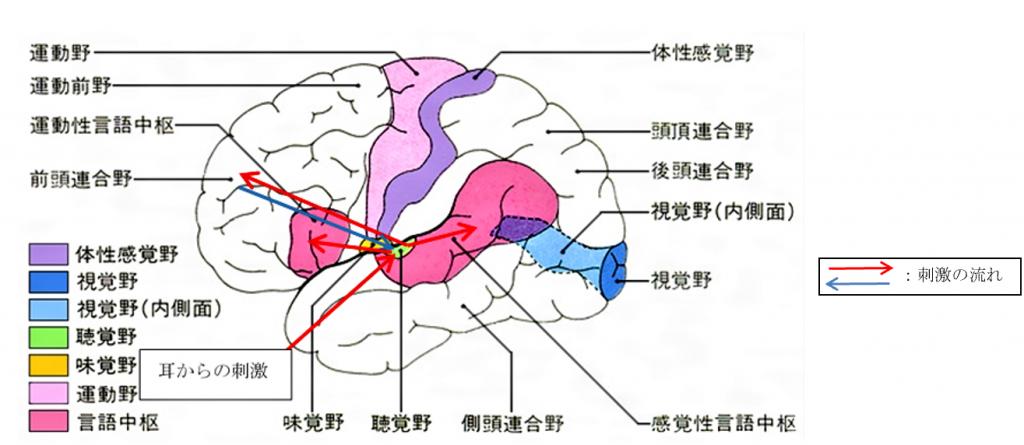 耳からの脳内の刺激の流れ